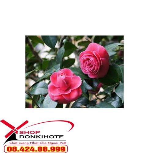 Tác dụng hồng trà Nam Phi Rooibos Tea Orihiro của Nhật